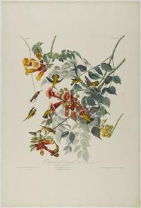 John James Audubon - Rubin Throated kolibri
